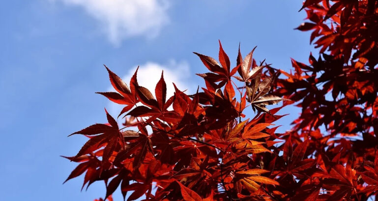 Japanese Red Maple 2333732 960 720