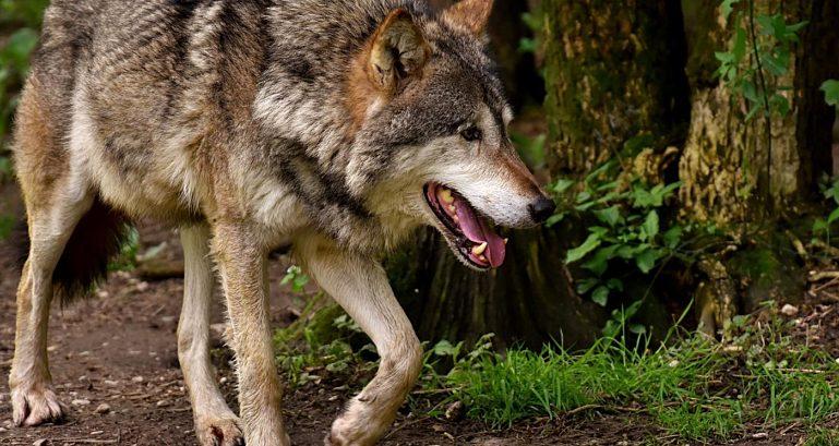 Wolf Jpg
